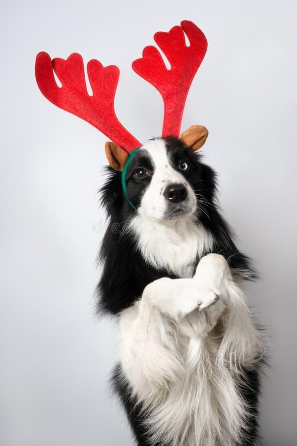 Pies w pionowej pozie reprezentuje Santa rogacza na lekkim backgro zdjęcie royalty free