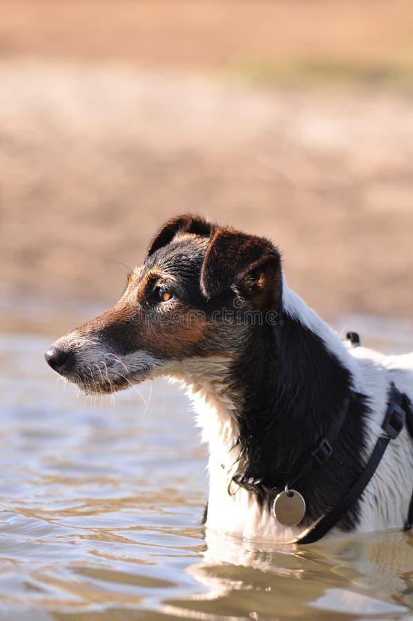 Pies w rzece obraz royalty free