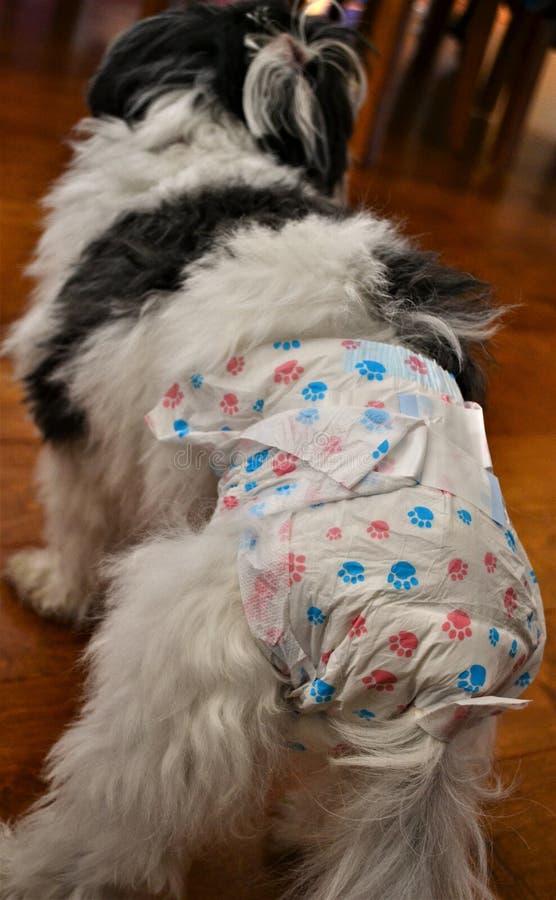 Pies w upale jest ubranym specjalności pieluszkę zdjęcia royalty free