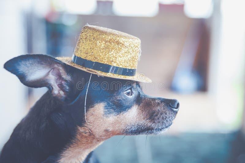 Pies w złocistym kapeluszu, wizerunek magik, cyrkowego artysty Rosyjski zabawkarski terier zdjęcia stock