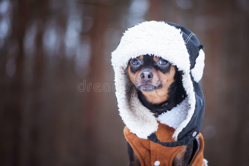 Pies w zim ubraniach, przestrzeń dla teksta Ten terier w kapeluszu w obraz royalty free