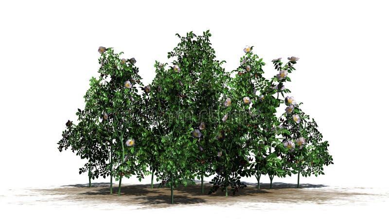 Pies wzrastał rośliny z bielem różowi okwitnięcia i czerwone owoc zdjęcie stock