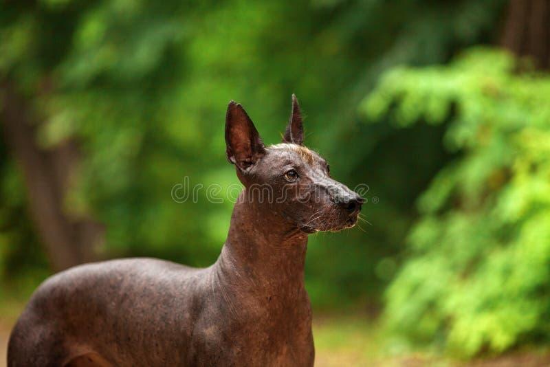 Pies Xoloitzcuintli traken, meksykańska bezwłosa psia pozycja outdoors na letnim dniu obrazy royalty free