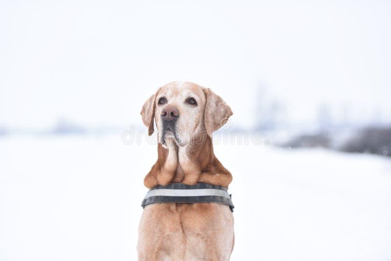 Pies z białym tłem w śniegu obraz stock
