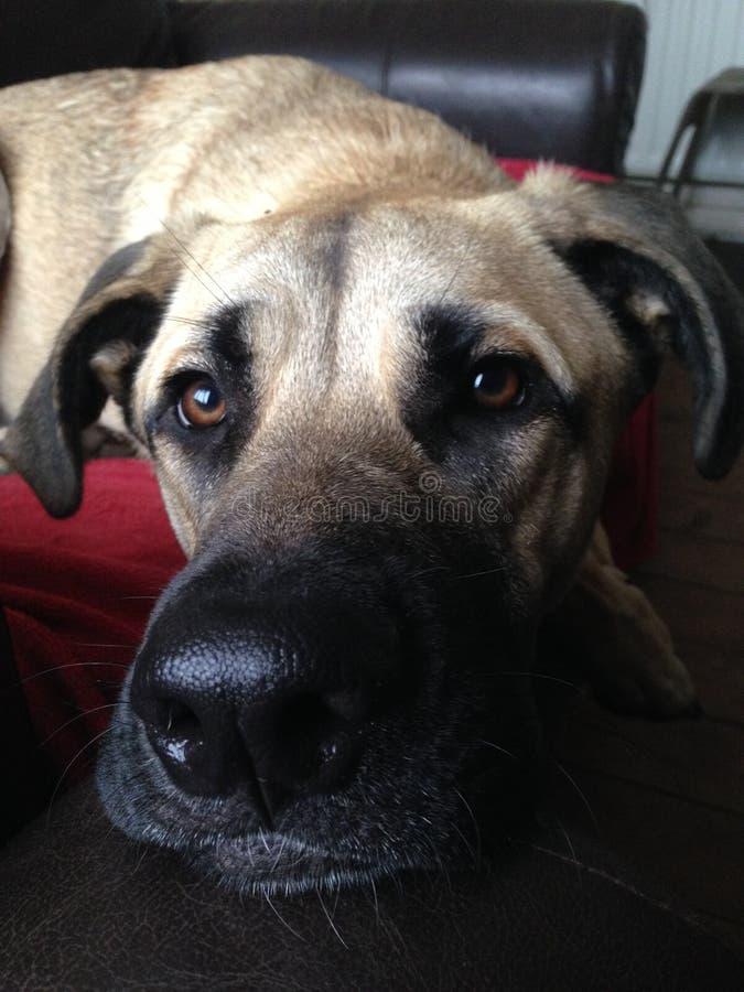 Download Pies z długim nosem obraz stock. Obraz złożonej z floppy - 57656957