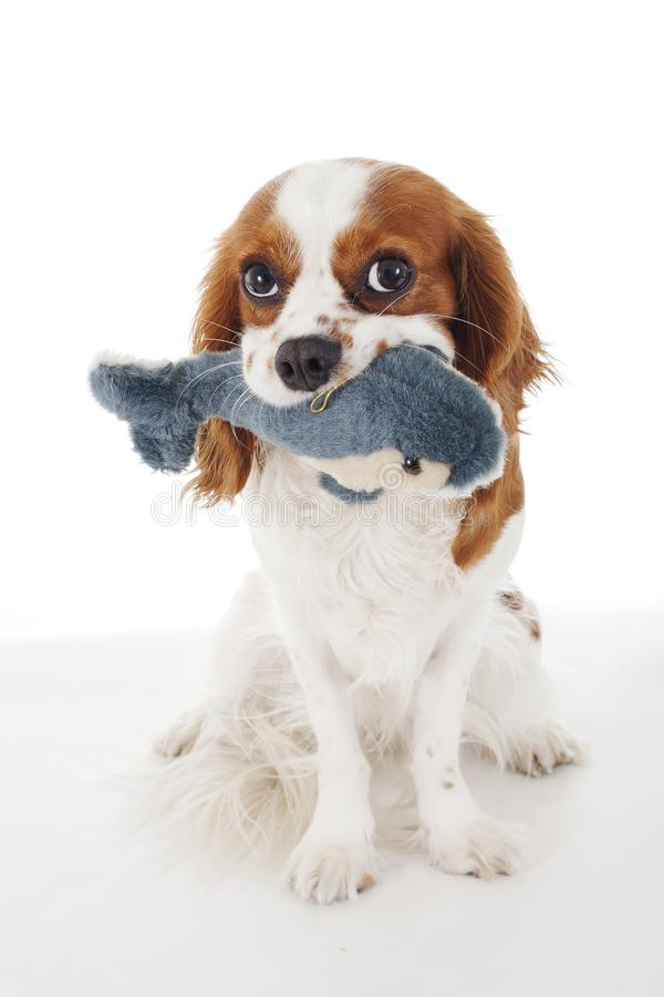 Pies z delfin zabawką Nonszalancka królewiątka Charles spaniela psa fotografia Piękny śliczny nonszalancki szczeniaka pies na odo zdjęcie royalty free