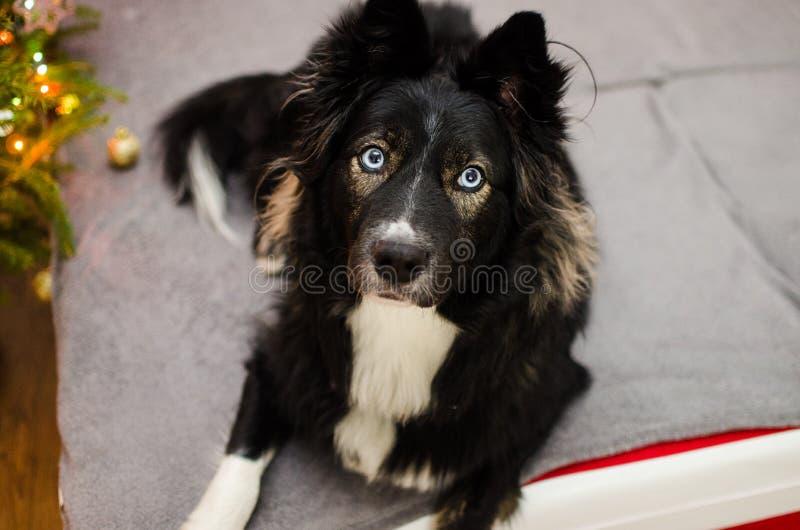 Pies z dużymi niebieskimi oczami zdjęcie royalty free