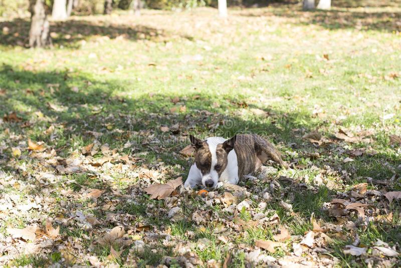 Pies z małą piłką w trawie fotografia stock