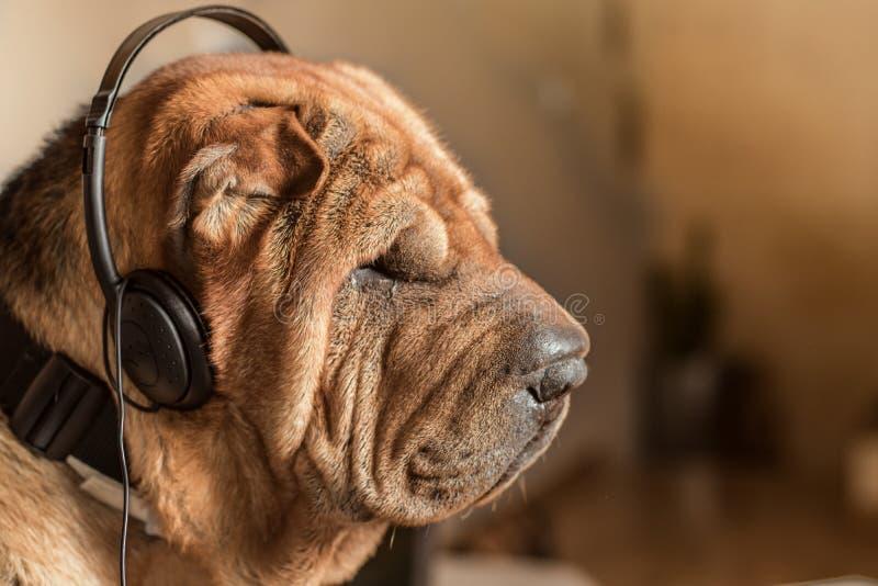 Pies z muzycznymi hełmofonami obrazy royalty free