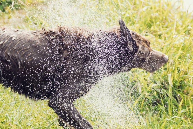 pies z potrząśnięcie wody obrazy royalty free