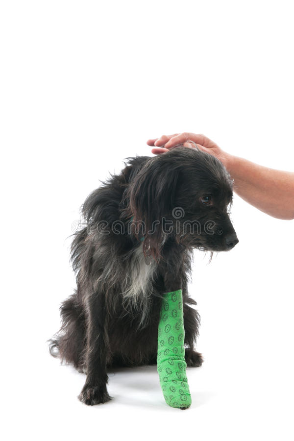 Pies z złamaną nogą fotografia stock