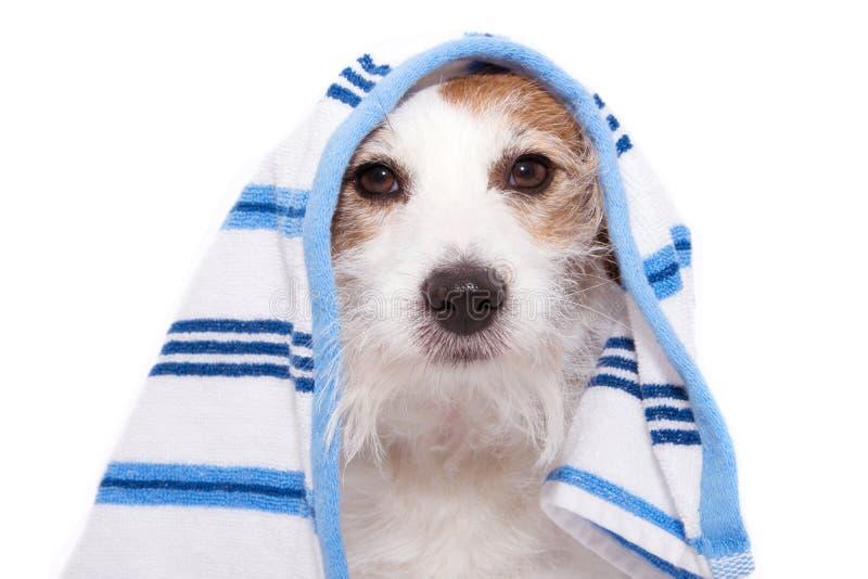 Pies zawijający z błękitnym ręcznikiem gotowym dla kąpać się pojedynczy bia?e t?o obraz royalty free