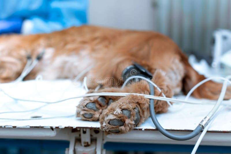 Pies znieczula na operacyjnym stole w weterynaryjnej klinice zdjęcie royalty free