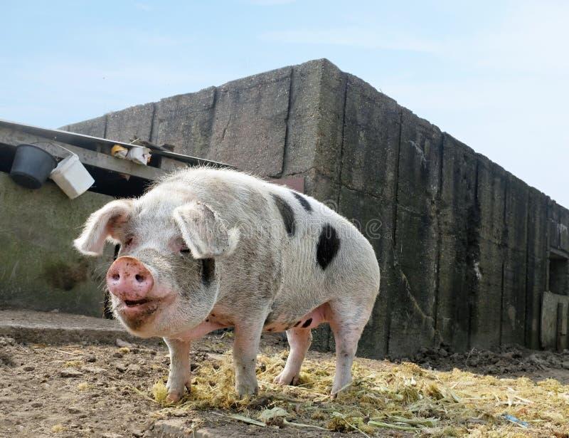 Pietrain pig. On free range farm royalty free stock image