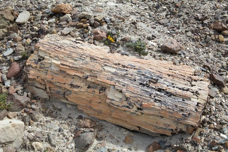 Pietrified wood near Viedma Lake in Patagonia, Argentina. Pietrified wood is a special type of fossilized remains of terrestrial vegetation royalty free stock images