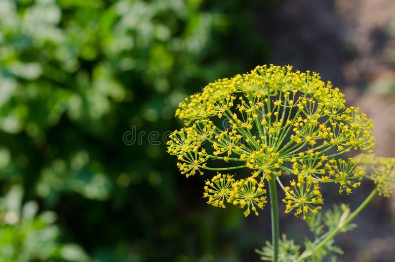 Pietruszka kwitnie w ogródzie obrazy stock