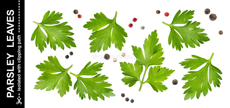 Pietruszka liście odizolowywający na białym tle z ścinek ścieżką, kolekcja zdjęcie royalty free