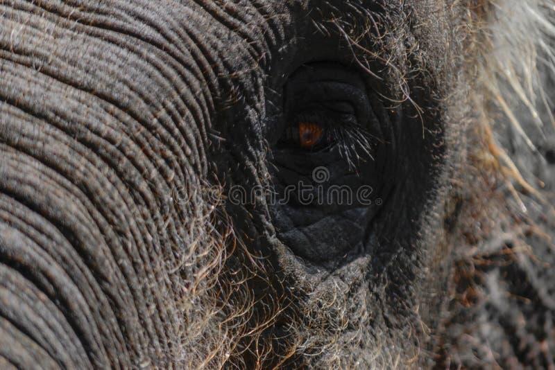 Pieza de la cabeza del elefante de Sumatra con el ojo enorme fotografía de archivo libre de regalías
