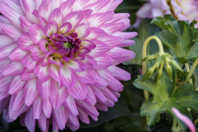 Pieza de una cabeza de flor rosada de la dalia imagen de archivo libre de regalías