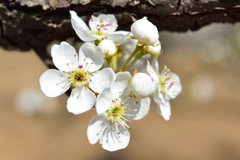 Pieza del peral viejo floreciente en primavera imagen de archivo libre de regalías