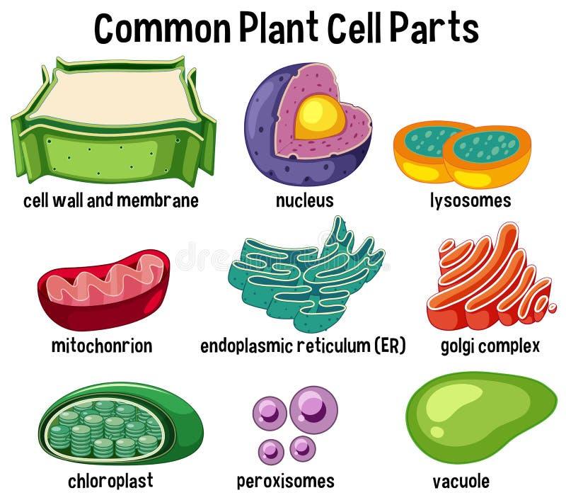 Piezas comunes de la célula de la planta libre illustration