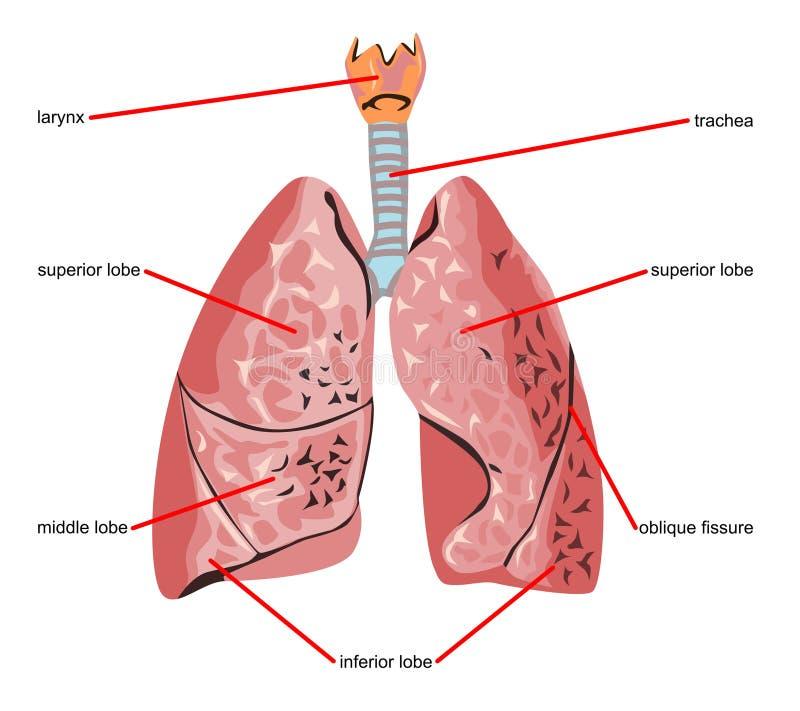Piezas del pulmón libre illustration