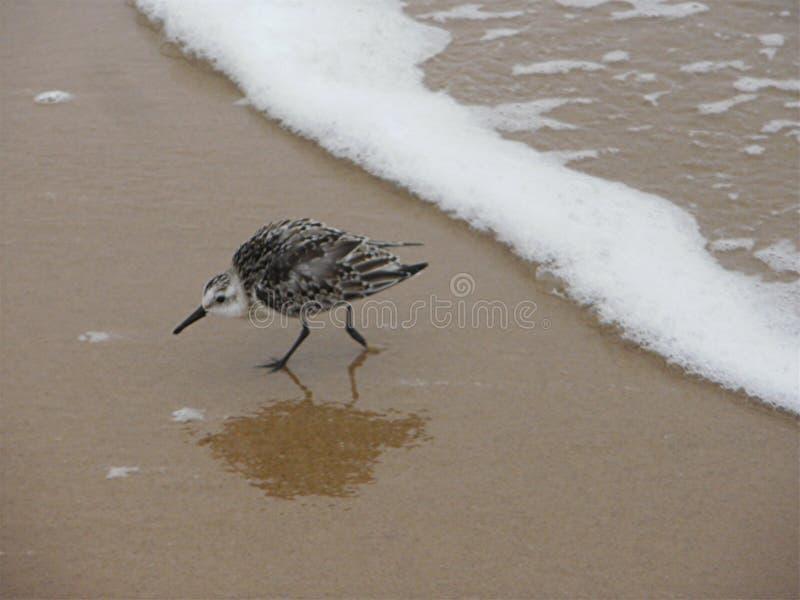 Pifferaio della sabbia fotografie stock libere da diritti