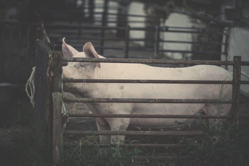 pig arkivfoto
