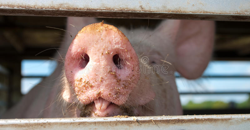 Pig. S in a trailer ready to be transported to the slaughterhouse stock photo