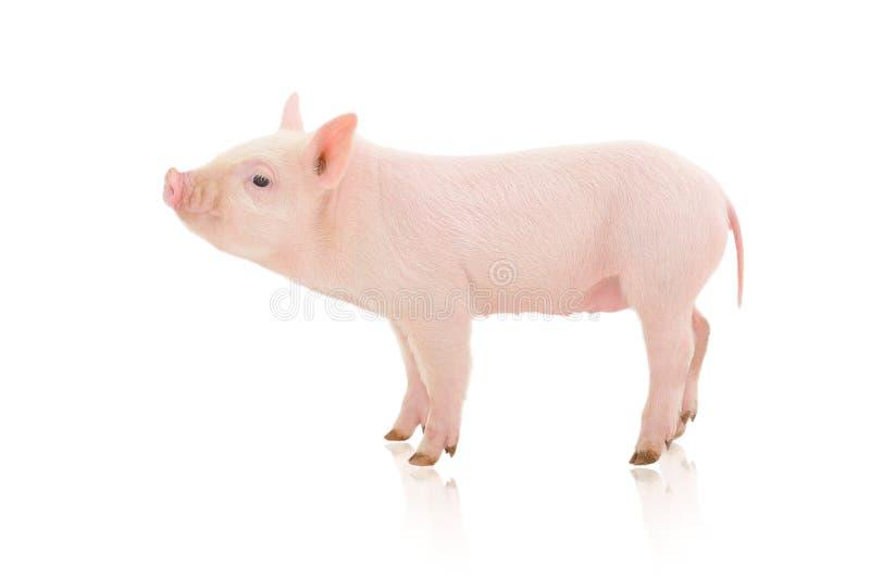 pig royaltyfria foton