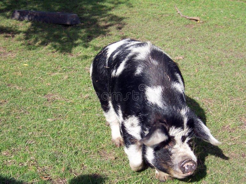 Pig 2 royalty free stock photos