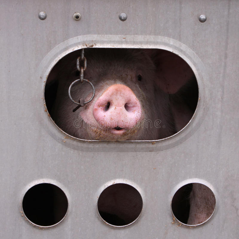 Pig. S in a trailer ready to be transported to the slaughterhouse in Canada royalty free stock photography