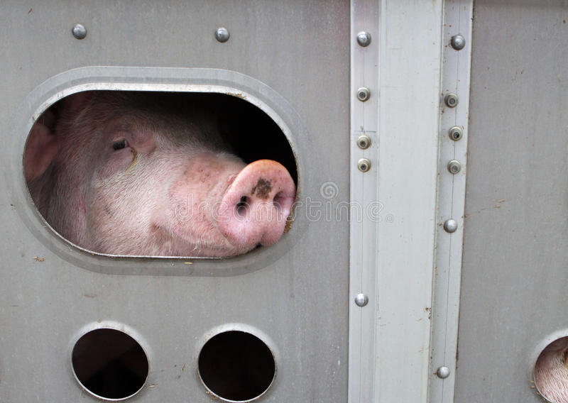 Pig. S in a trailer ready to be transported to the slaughterhouse in Canada royalty free stock image