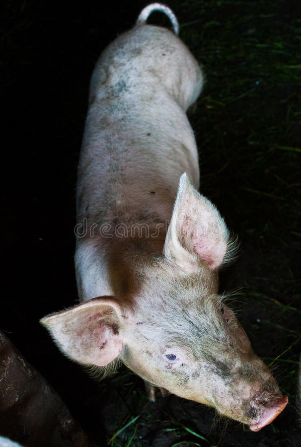 Download Pig stock image. Image of curious, cute, looking, farrow - 20409429