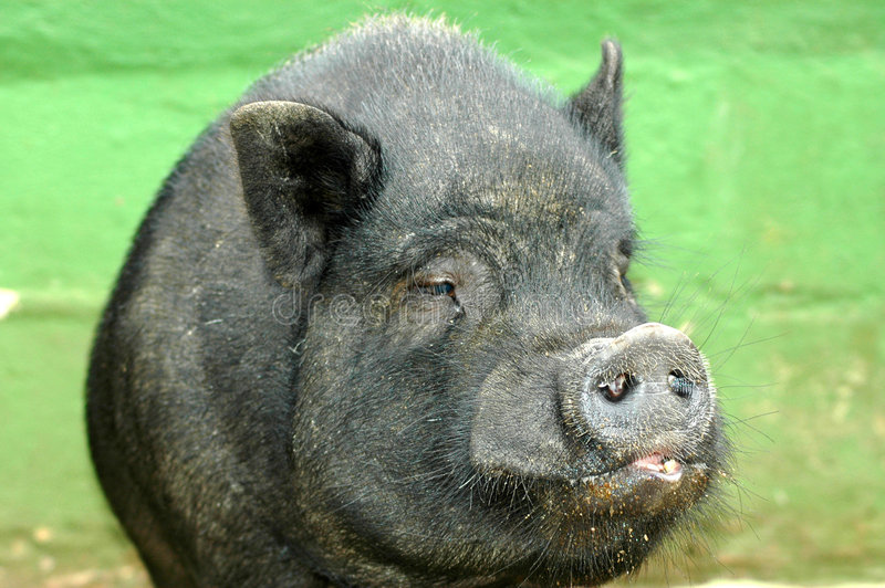 Download Pig stock photo. Image of agriculture, cute, look, black - 2075958