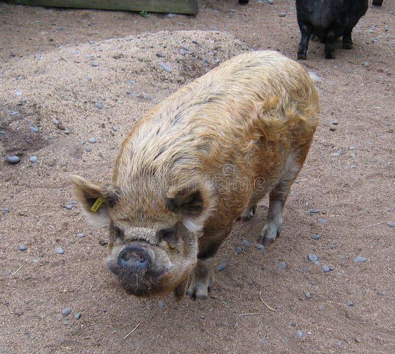 Pig Fotografering för Bildbyråer