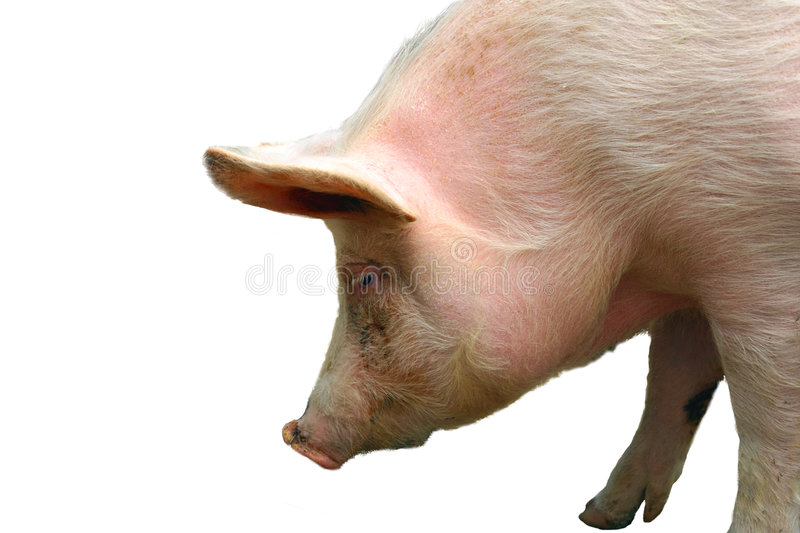 Download Pig stock image. Image of dirty, baby, stink, unclean - 2323395