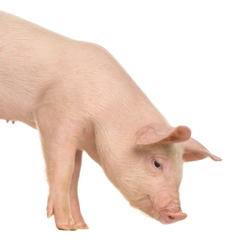 Download Pig stock image. Image of animals, straw, pork, livestock - 2333769