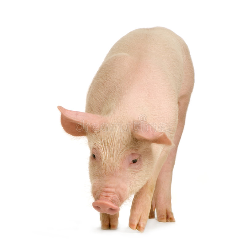 Download Pig Stock Images - Image: 2333784
