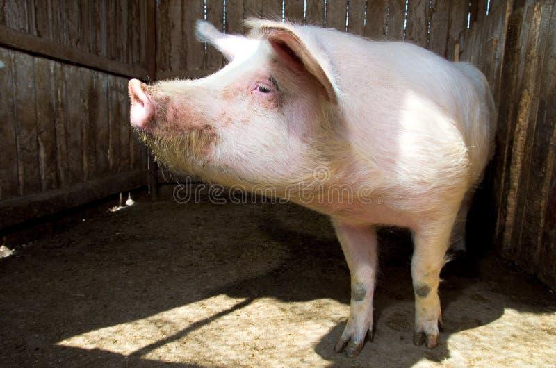 Download Pig stock photo. Image of pork, shed, swine, organic - 24248424