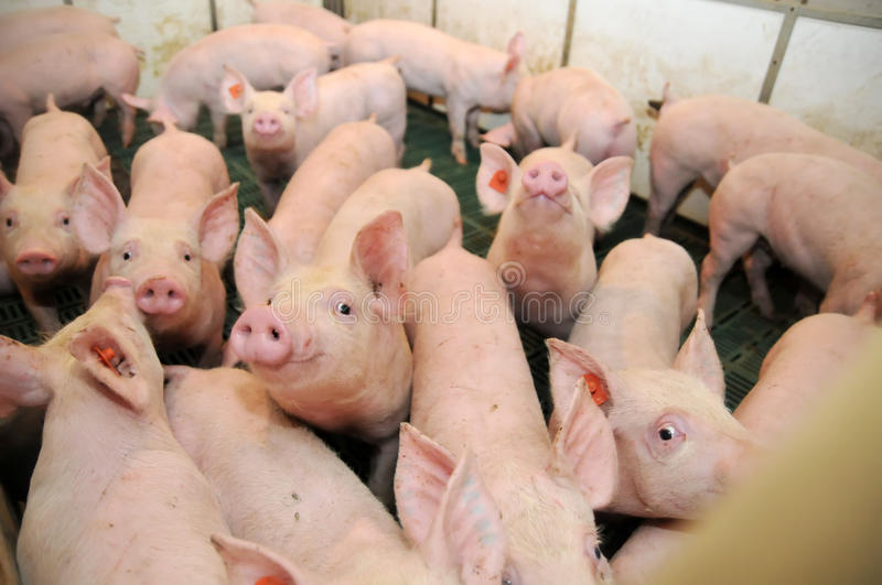 Download Pig stock image. Image of lovely, swine, grass, meat - 24499159