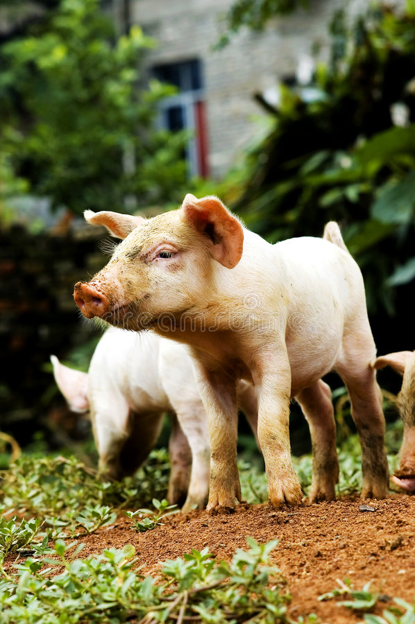 Free Pig Stock Photography - 5925662