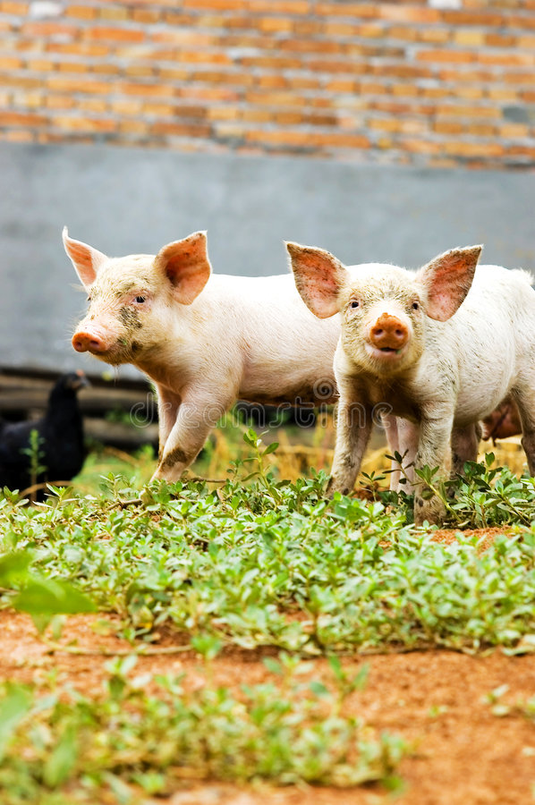 Free Pig Royalty Free Stock Photography - 5925677