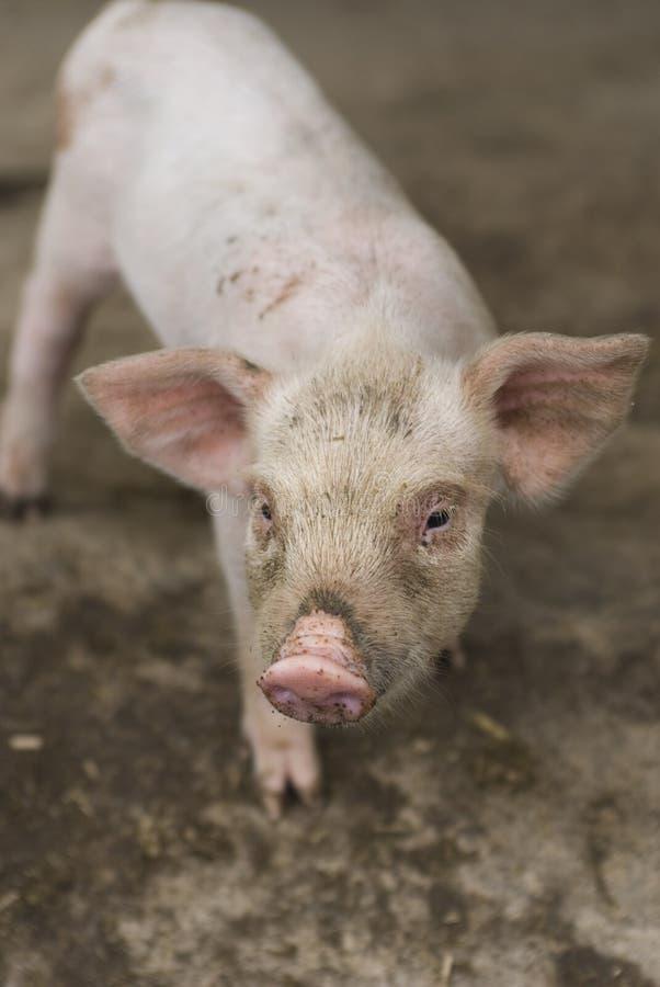 Download Pig stock image. Image of animal, cute, dirt, dirty, farm - 6442017