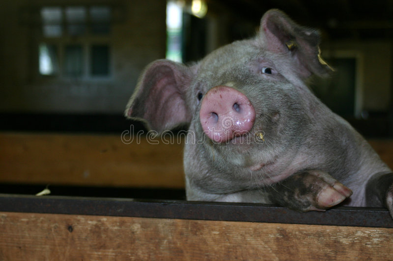 Download Pig stock photo. Image of stable, standing, pignose, holes - 66716
