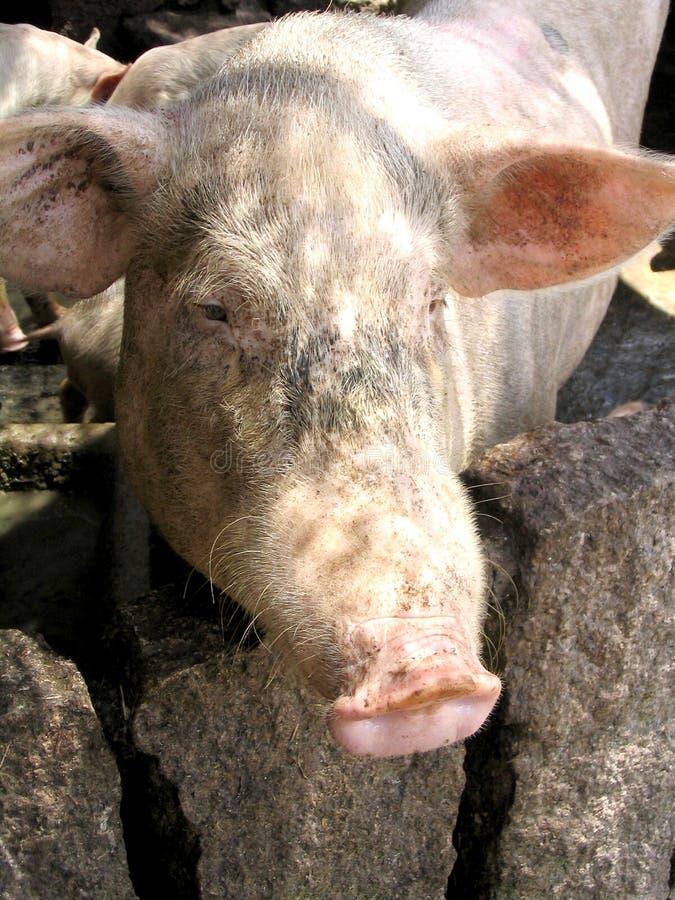 Pig Free Stock Photo