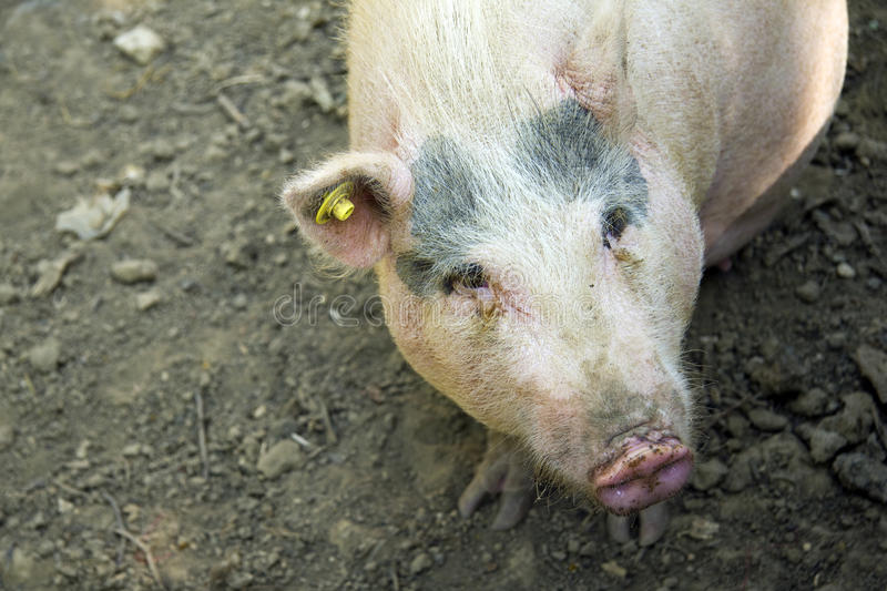 Download Pig and background stock photo. Image of livestock, food - 27190510