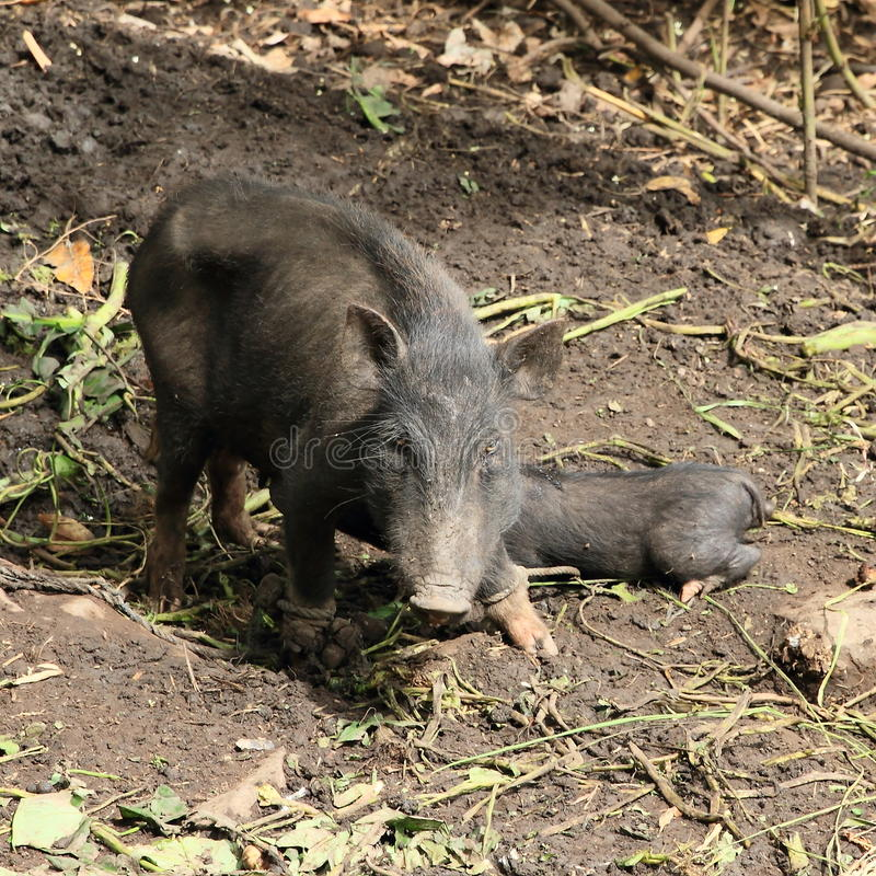 A pig with a bark. On muddy ground, piglet drinking milk from mum stock photography