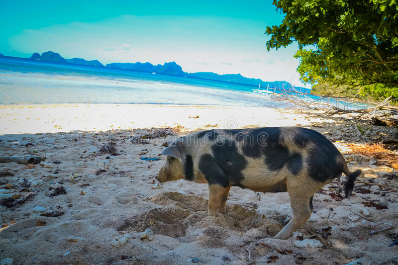 Pig on the beach. A pig enjoying the beach in Philippines stock image