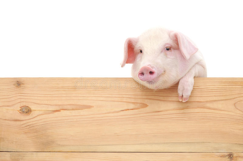 Pig with board stock photo